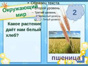 Окружающий мир п. Солнечный Сафронова И. А. Какое растение даёт нам белый хле