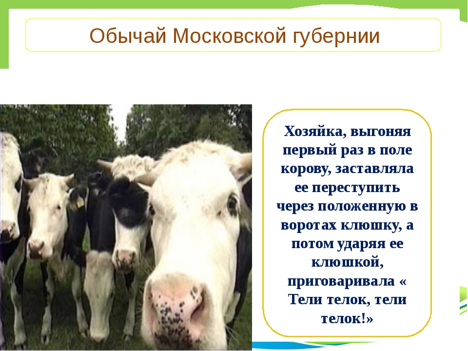Обычай Московской губернии Хозяйка, выгоняя первый раз в поле корову, застав...