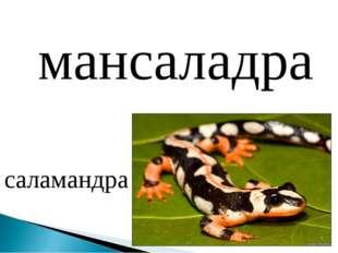 мансаладра саламандра