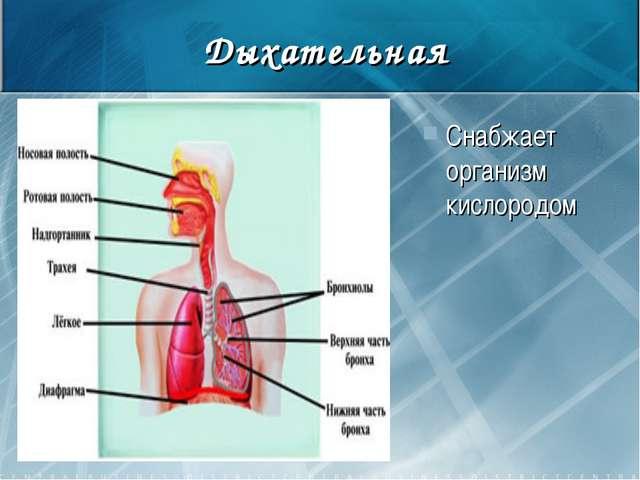 Дыхательная Снабжает организм кислородом