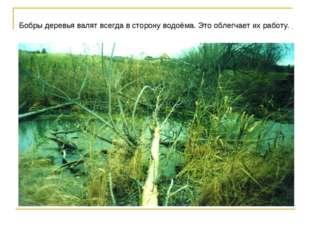 Бобры деревья валят всегда в сторону водоёма. Это облегчает их работу.