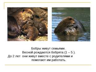 Бобры живут семьями. Весной рождаются бобрята (1 – 5 ). До 2 лет они живут вм