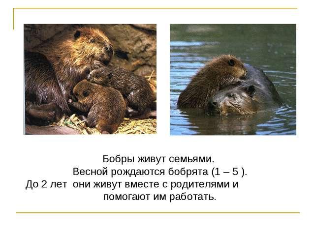 Бобры живут семьями. Весной рождаются бобрята (1 – 5 ). До 2 лет они живут вм...
