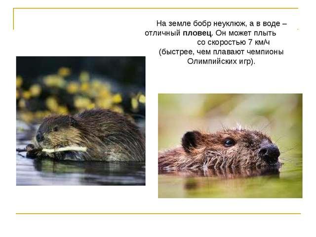 На земле бобр неуклюж, а в воде – отличный пловец. Он может плыть со скорость...