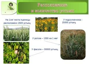 На 1см2 листа пшеницы расположено 1500 устьиц У подсолнечника - 15000 устьиц