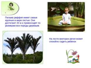Пальма раффия имеет самые крупные в мире листья. Они достигают 20 м и превосх