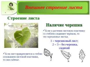 1 – черешковый лист; 2 – 3 – без черешка, сидячий Строение листа Если у расте