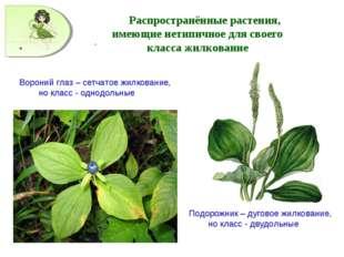 . Распространённые растения, имеющие нетипичное для своего класса жилкование