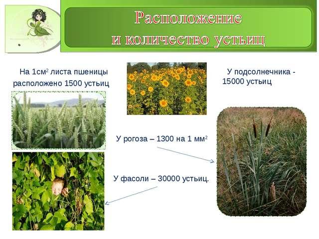 На 1см2 листа пшеницы расположено 1500 устьиц У подсолнечника - 15000 устьиц...