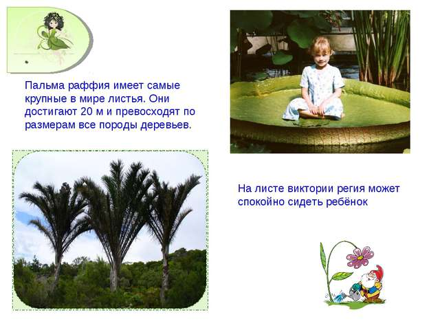 Пальма раффия имеет самые крупные в мире листья. Они достигают 20 м и превосх...