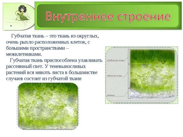 Губчатая ткань – это ткань из округлых, очень рыхло расположенных клеток, с...