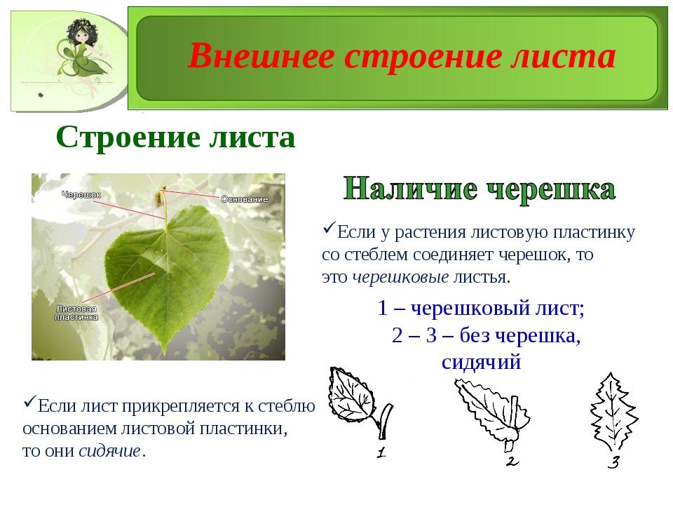 1 – черешковый лист; 2 – 3 – без черешка, сидячий Строение листа Если у расте...