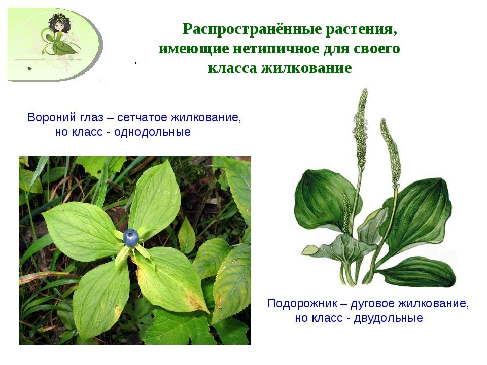 . Распространённые растения, имеющие нетипичное для своего класса жилкование...