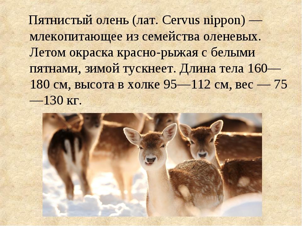 Пятнистый олень (лат. Cervus nippon) — млекопитающее из семейства оленевых....