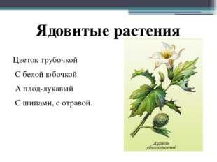 Цветок трубочкой С белой юбочкой А плод-лукавый С шипами, с отравой. Ядовитые