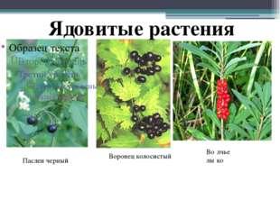 Воронец колосистый Во́лчье лы́ко Паслен черный Ядовитые растения