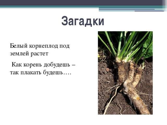 Загадки Белый корнеплод под землей растет Как корень добудешь – так плакать б...