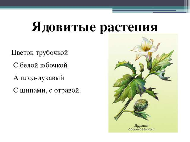 Цветок трубочкой С белой юбочкой А плод-лукавый С шипами, с отравой. Ядовитые...