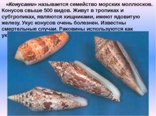 «Конусами» называется семейство морских моллюсков. Конусов свыше 500 видов.