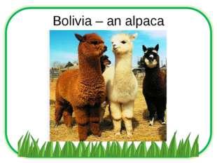 Bolivia – an alpaca