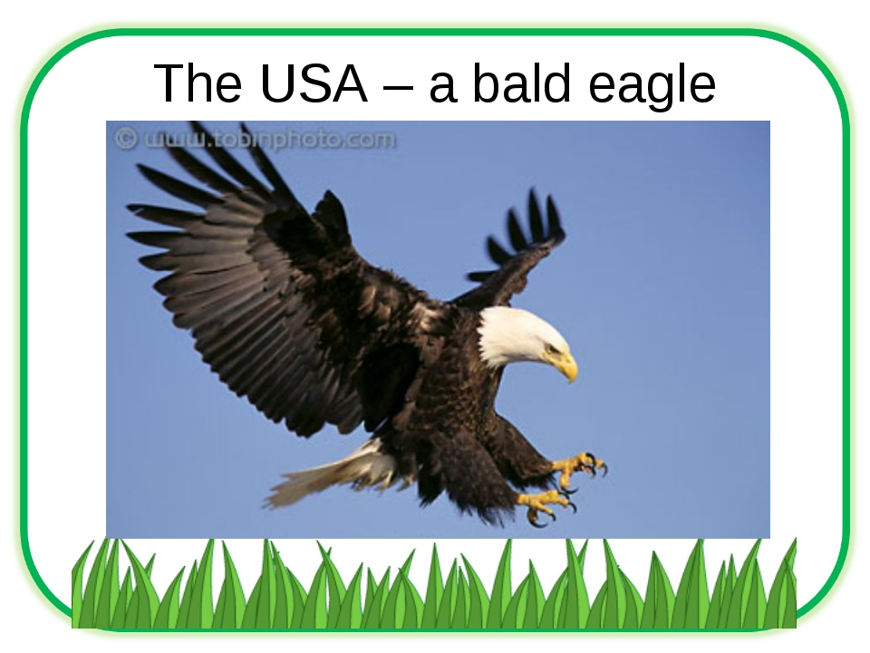The USA – a bald eagle
