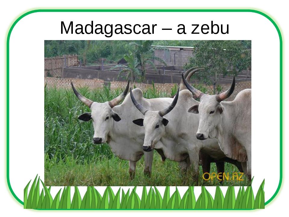 Madagascar – a zebu