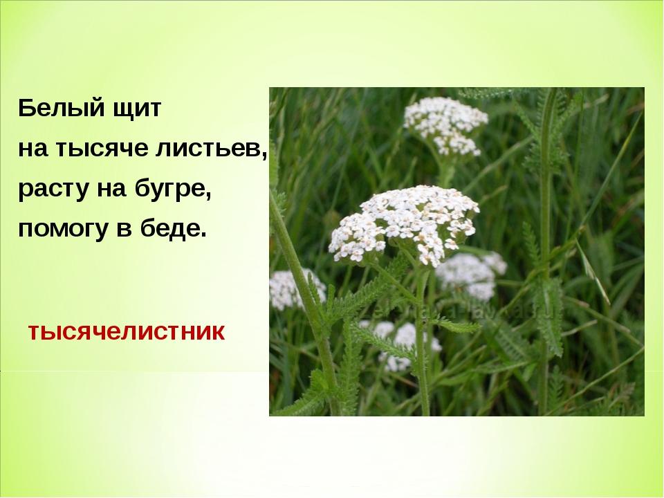Белый щит на тысяче листьев, расту на бугре, помогу в беде. тысячелистник