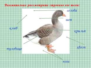 туловище клюв шея голова хвост Внимательно рассмотрите строение его тела: кры