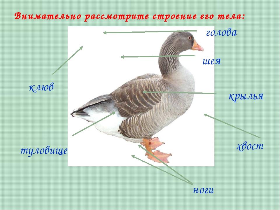 туловище клюв шея голова хвост Внимательно рассмотрите строение его тела: кры...