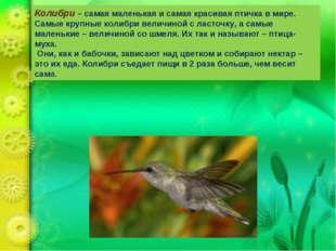 Колибри – самая маленькая и самая красивая птичка в мире. Самые крупные колиб