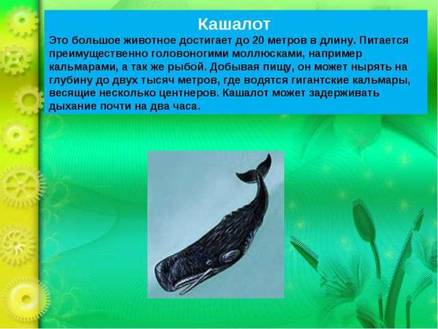 Кашалот Это большое животное достигает до 20 метров в длину. Питается преимущ...