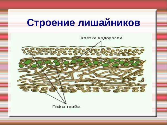 Строение лишайников