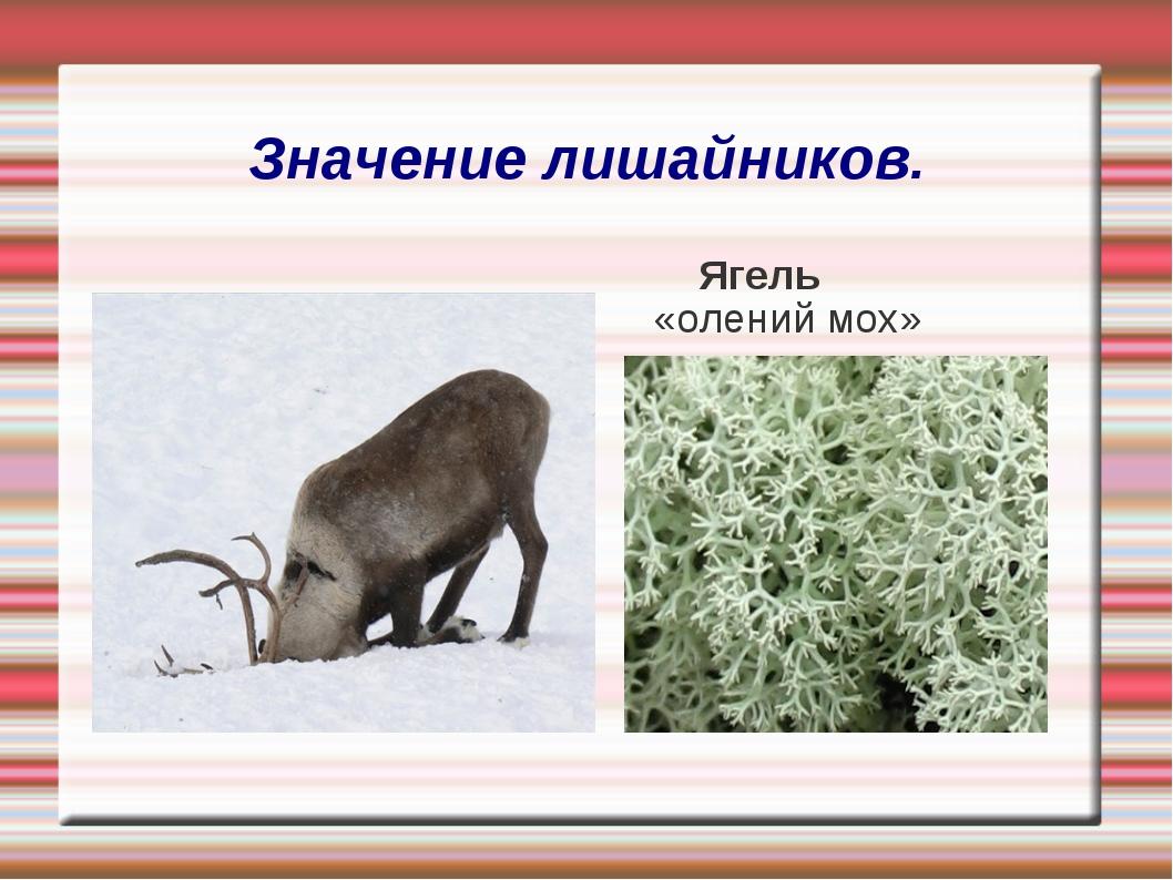 Значение лишайников. Ягель «олений мох»