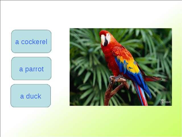 a parrot a cockerel a duck