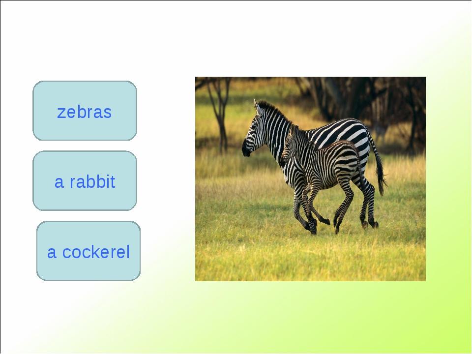 zebras a rabbit a cockerel