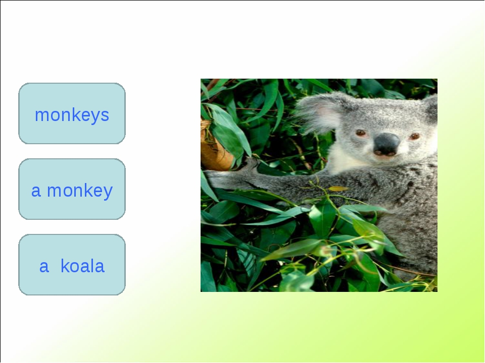 a monkey monkeys a koala