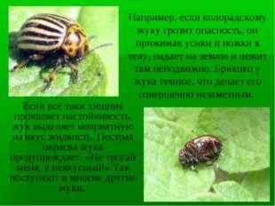 Если все таки хищник проявляет настойчивость, жук выделяет неприятную на вкус