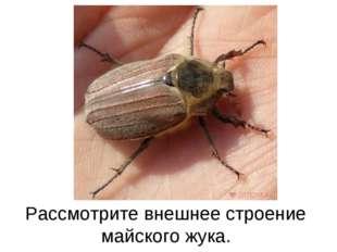 Рассмотрите внешнее строение майского жука.
