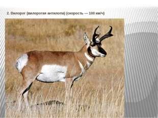 2. Вилорог (вилорогая антилопа) (скорость — 100 км/ч)