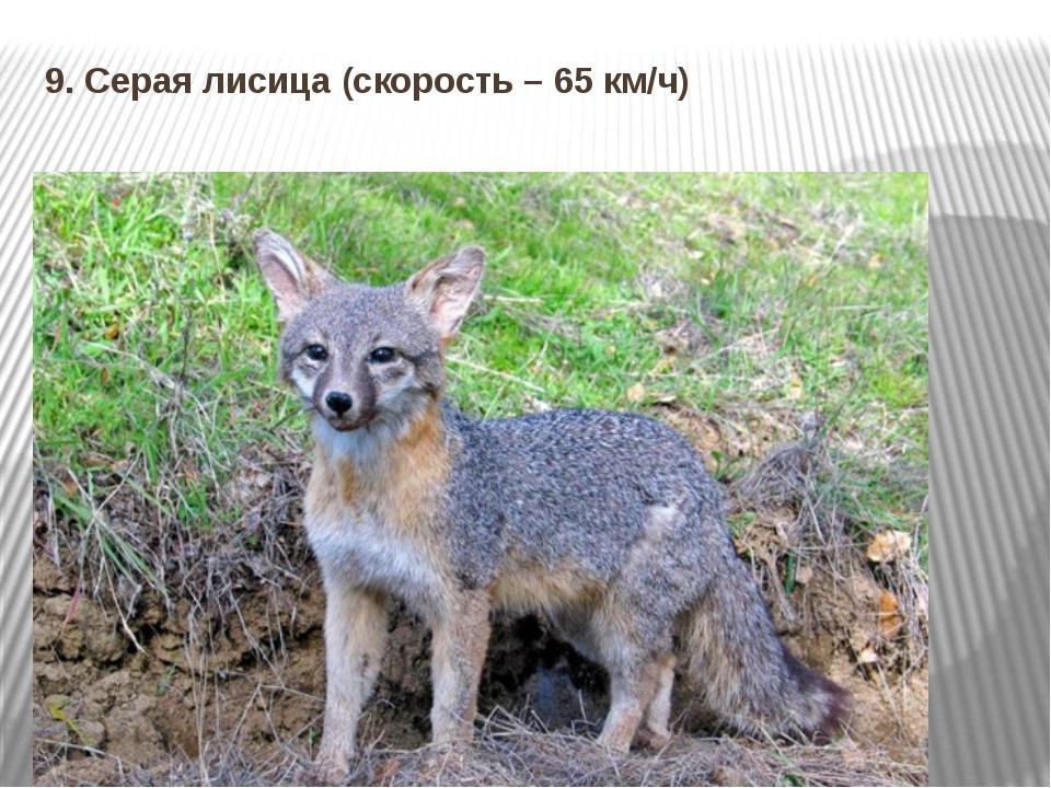 9. Серая лисица (скорость – 65 км/ч)