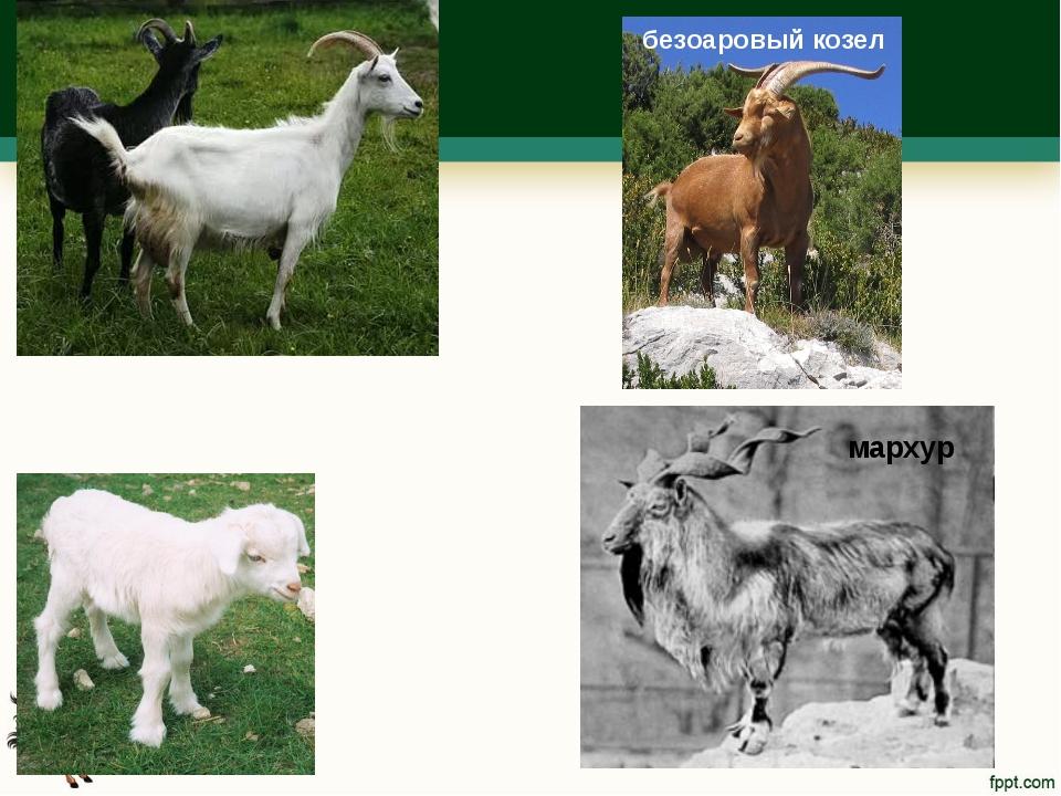 безоаровый козел мархур
