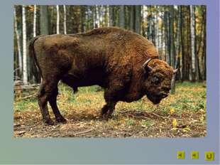 Длина животного до 3 м, масса до 900 кг. Он может очень быстро скакать галопо