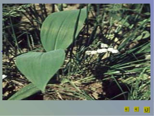 Цветы данного растения идут на изготовление капель, которые употребляют как с...