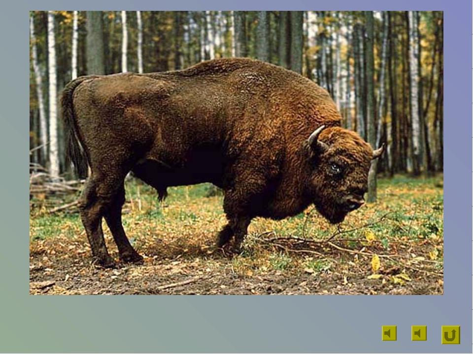 Длина животного до 3 м, масса до 900 кг. Он может очень быстро скакать галопо...