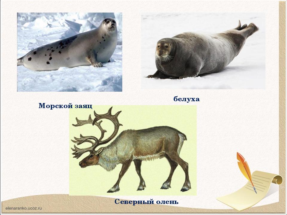 Морской заяц белуха Северный олень