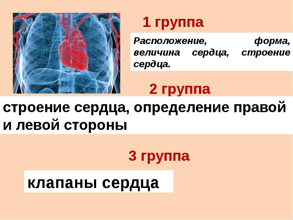 Расположение, форма, величина сердца, строение сердца. 1 группа 2 группа стро...