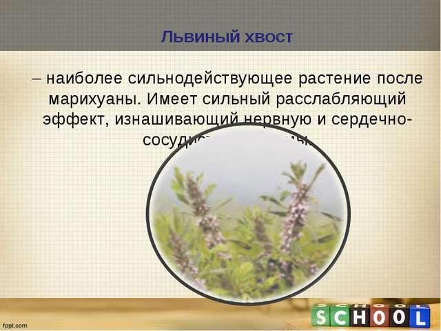 Львиный хвост – наиболее сильнодействующее растение после марихуаны. Имеет си...
