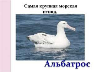 Самая крупная морская птица.