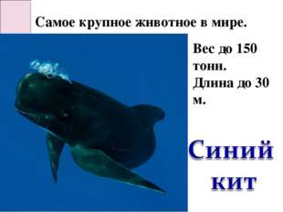 Самое крупное животное в мире. Вес до 150 тонн. Длина до 30 м.