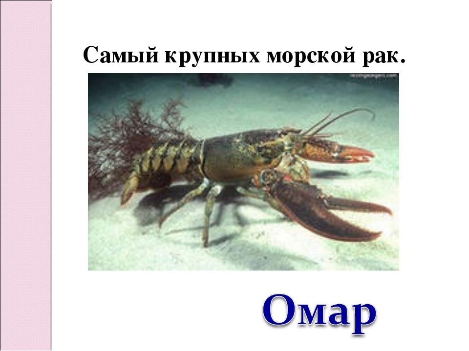 Самый крупных морской рак.
